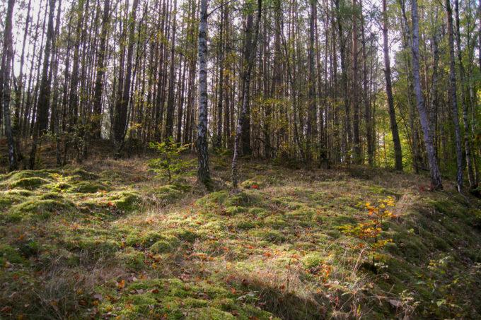 Birkenwald am Nonnenfließ im schönen Naturpark Barnim, Barnimer Land, Brandenburg.