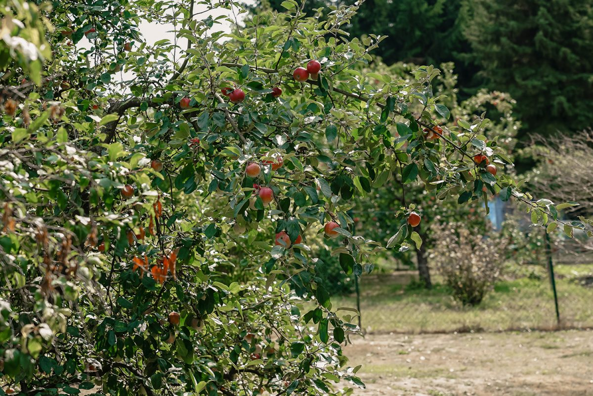 Ein Apfelbaum auf dem Gelände der Gaststätte und Pension Zur Dampflok in Wandlitz, im schönen Naturpark Barnim, Barnimer Land, Brandenburg.