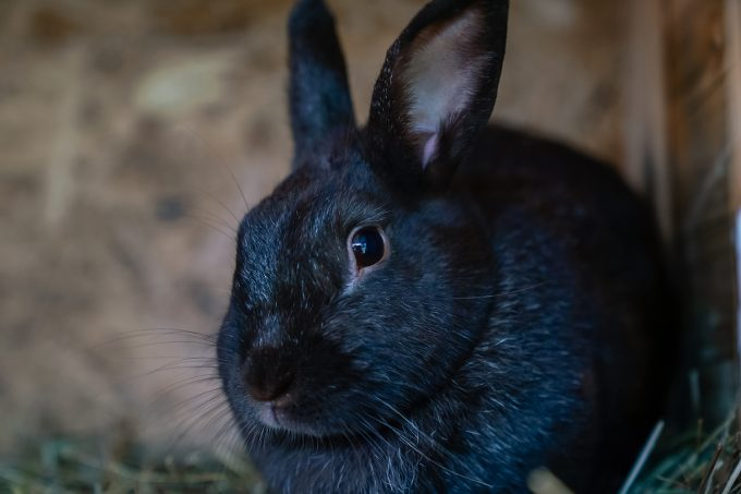Ein Kaninchen der Gaststätte und Pension Zur Dampflok in Wandlitz, im schönen Naturpark Barnim, Barnimer Land, Brandenburg.