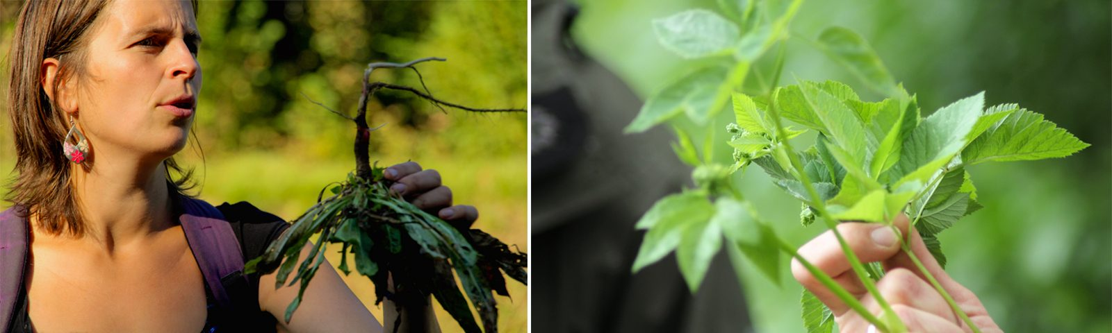 Kräuterführungen mit Maria Moch und heilsamen und essbaren Wildpflanzen