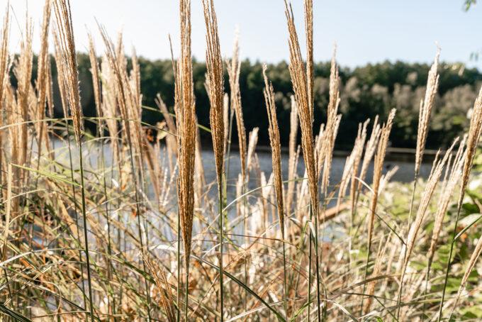 Schilf am Ufer der Drei Heiligen Pfühle, wo die Sauna am See liegt, Wandlitz, im schönen Naturpark Barnim, Barnimer Land, Brandenburg.